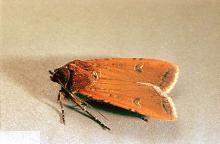 Image related to Alfalfa hay-Cutworm