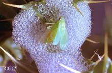 Image related to Alfalfa hay-Meadow spittlebug