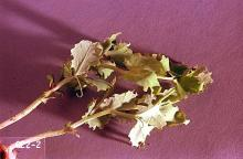 Image related to Alfalfa hay-Pea leaf weevil