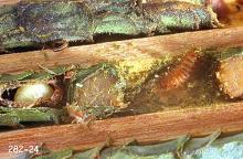 Image related to Alfalfa Leafcutting Bee (Megachile rotunda) Pests
