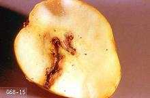 Image related to Apple-Codling moth