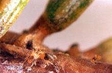 Image related to Arborvitae (Thuja)-Spider mite
