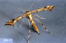 Image related to Artichoke (globe artichoke)-Artichoke plume moth