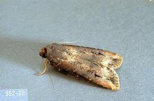 Image related to Artichoke (globe artichoke)-Cutworm