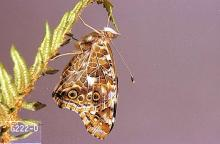Image related to Artichoke (globe artichoke)-Painted lady or thistle butterfly
