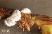 Image related to Azalea (Rhododendron)-Azalea bark scale