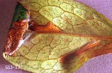 Image related to Azalea (Rhododendron)-Azalea leaf miner