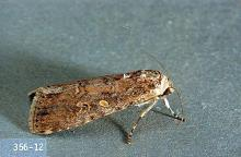 Image related to Bean, dry-Armyworm and cutworm