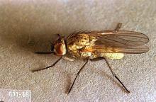 Image related to Bean, dry-Seedcorn maggot
