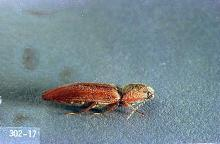 Image related to Bean, dry-Wireworm
