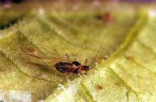 Image related to Bean, lima-Aphid