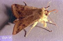 Image related to Bean, lima-Corn earworm
