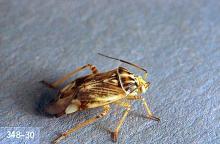 Image related to Bean, lima-Lygus bug