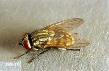 Image related to Beef cattle-Face fly