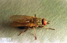 Image related to Beef cattle-Horn fly
