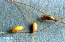 Image related to Beef cattle-Lice