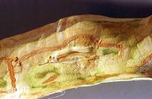 Image related to Birch (Betula)-Bronze birch borer