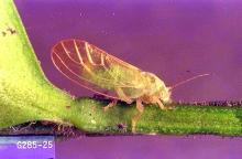 Image related to Boxwood (Buxus)-Boxwood psyllid