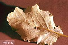 Image related to Broccoli, Brussels sprout, cabbage, cauliflower-Diamondback moth