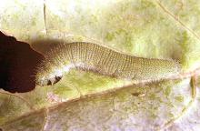 Image related to Broccoli, Brussels sprout, cabbage, cauliflower-Imported cabbageworm