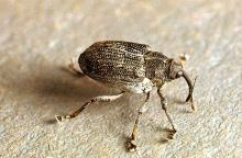 Image related to Cabbage and mustard seed-Cabbage seedpod weevil