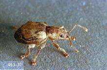 Image related to Cane fruit-Obscure root weevil