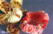 Image related to Cane fruit-Raspberry beetle (aka Western raspberry fruitworm)