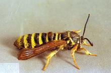 Image related to Cane fruit-Raspberry crown borer