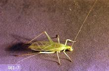 Image related to Cane fruit-Snowy tree cricket