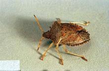 Image related to Cane fruit-Stink bug