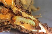 Image related to Cane fruit-Strawberry crown moth