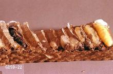 Image related to Cane fruit-Yellowjacket