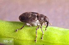 Image related to Canola-Cabbage seedpod weevil