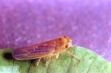 Image related to Carrot-Sixspotted leafhopper