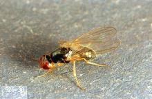 Image related to Celery-Carrot rust fly