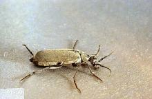 Image related to Chard, Swiss-Blister beetle