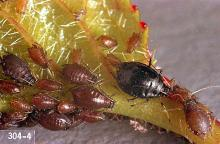 Image related to Cherry, flowering (Prunus)-Aphid