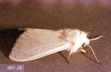 Image related to Cherry, flowering (Prunus)-Fall webworm