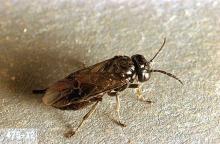 Image related to Cherry, flowering (Prunus)-Pear sawfly (pear slug)