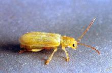 Image related to Cherry-Syneta beetle