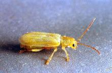 Image related to Cherry-Syneta beetle