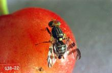 Image related to Cherry-Western cherry fruit fly