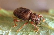 Image related to Christmas tree (Common pests)-Root weevil (adult)