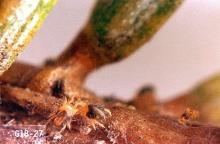 Image related to Christmas tree (Common pests)-Spider mite