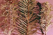 Image related to Christmas tree (Spruce)-Cooley spruce gall adelgid