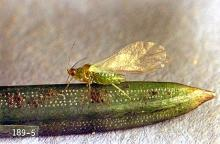 Image related to Christmas tree (Spruce)-Spruce aphid