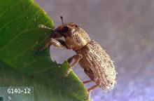 Image related to Clover hay-Clover root curculio
