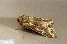 Image related to Clover hay-Cutworm and armyworm