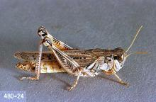 Image related to Clover hay-Grasshopper