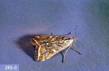Image related to Clover hay-Webworm